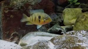 CRÍAS DE Heterochromis multidens EN EL ACUARIO DE ZARAGOZA