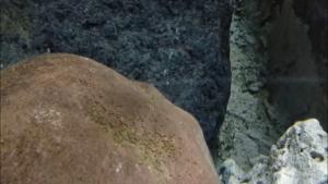 PUESTA DEL CÍCLIDO AFRICANO Heterochromis multidens