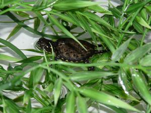 Nacimiento de 10 tortugas de galápago europeo (Emys orbicularis) en el Acuario de Zaragoza