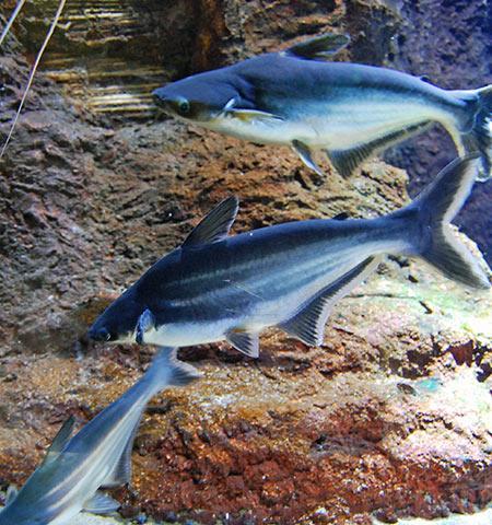 Tiburón Malayo